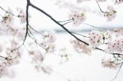 dc-blossoms